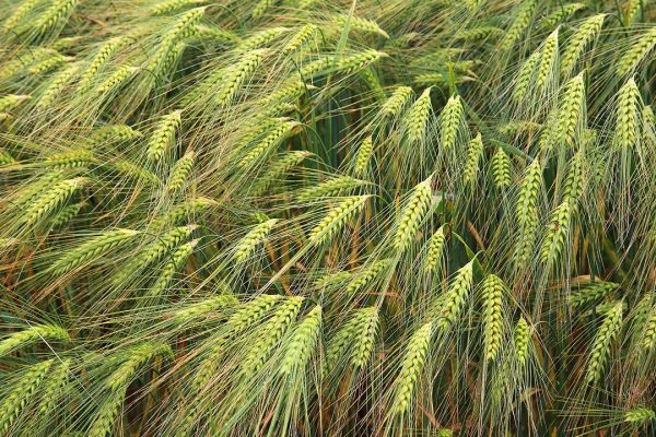 Agricoltura e sviluppo – Il grano assorbe il fosforo dalla polvere del deserto |  Scienze e tecnologia
